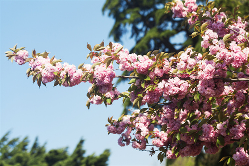 image of flowering cherry trees